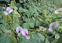 Pueraria phaseoloides flowers and pods.jpg