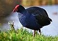 Pukeko (Porphyrio melanotus), Christchurch, NZ (9763173153).jpg
