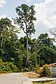 Pulong Sabah Giant-Menggaris-Tree-01.jpg