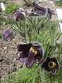 Pulsatilla pratensis subsp nigricans.jpg
