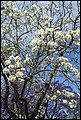 Purple and White Jacaranda at Grafton-2 (22809051952).jpg