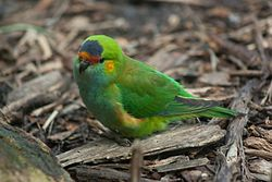 Purple crowned lorikeet (4989713000).jpg