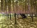 Purple wisteria in Kawachi Wisteria Garden 20150509-7.JPG