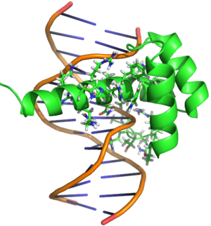 Bicoid (gene) - PyMOL rendering of Bicoid homeodomain bound to its consensus site