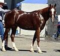 Quarter Horse Gelding.jpg
