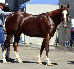 Quarter Horse Gelding Chics River Dancer
