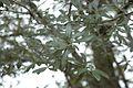 Quercus hemisphaerica (23511626504).jpg