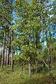 Quercus laevis (24052857682).jpg