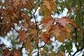 Quercus rubra (2).jpg