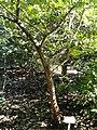 Quercus wutaishanica - J. C. Raulston Arboretum - DSC06189.JPG