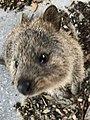 Quokka Rottnest Island.jpg