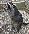 Raccoon (Procyon lotor) 4.jpg