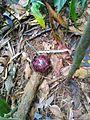 Rafflesia-Bud on Liana.jpg