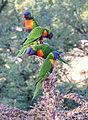 Rainbow lorikeet, Trichoglossus moluccanus, Royal Botanic Gardens, Melbourne, Australia (25602594312).jpg