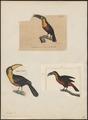 Ramphastos dicolorus - 1700-1880 - Print - Iconographia Zoologica - Special Collections University of Amsterdam - UBA01 IZ19300232.tif