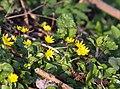 Ranunculus ficaria LC0016.jpg