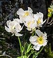 Ranunculus lyallii in Fiordland National Park 04.jpg
