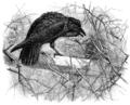 Raven (Joseph Wolf).png