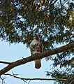 Red-tailed Hawk Buteo jamaicensis Perched 2000px.jpg