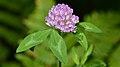 Red Clover (Trifolium pratense) - MacGregor Point Provincial Park.jpg