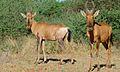 Red Hartebeests (Alcelaphus buselaphus) (6600934585).jpg