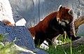 Red Panda (8033469542).jpg