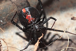 "Redback spider - Ventral surface of an adult female showing the red ""hourglass"" marking, similar to markings on the ventral surface of katipo and black widow females."