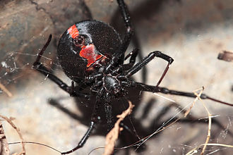 Spiders of Australia - Redback spider