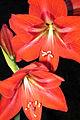 Red flowers (207457211).jpg