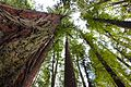 Redwood Tall View.jpg