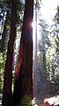 Redwoods in Santa Cruz.jpg