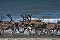 Reindeer north of Wales (8029744034).jpg