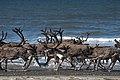 Reindeer north of Wales (8029744034).jpg
