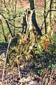 Remains of tree - geograph.org.uk - 319200.jpg