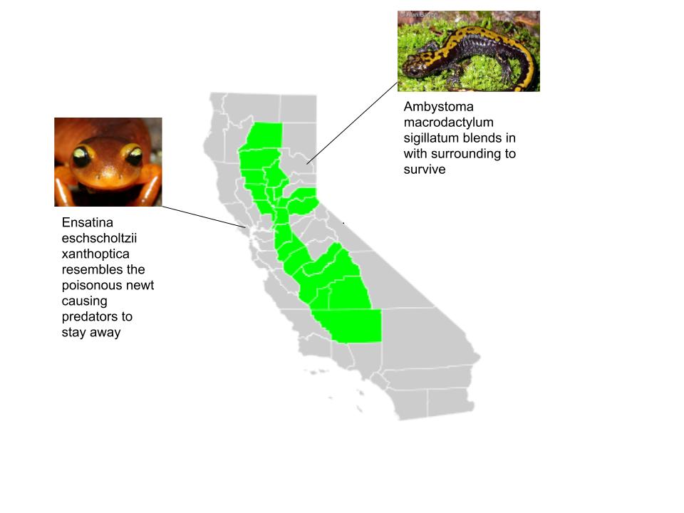 Reproductive Isolation on California Salamander population