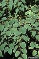 Reynoutria japonica leaf (12).jpg