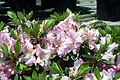 Rhododendron Love Lace 2zz.jpg