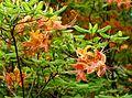 Rhododendron calendulaceum 'Aurantiacum' - Hillier Gardens - Romsey, Hampshire, England - DSC04653.jpg