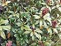Rhododendron ferrugineum Viote 01.jpg