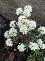 Rhododendron groenlandicum kz01.jpg