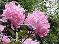 Rhododendron williamsianum4.jpg