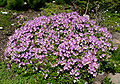 Rhododendron yedoense var poukhanense 1.jpg