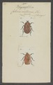 Rhyxiphloea - Print - Iconographia Zoologica - Special Collections University of Amsterdam - UBAINV0274 022 02 0002.tif