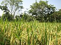 Rice Crop, Panchlai, Pardi, Valsad - panoramio.jpg