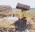 Rice processor in Indonesia who collected the rice.jpg
