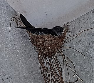 Ridgetop swiftlet Species of bird