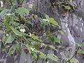 Rinde Platane mit jungen Zweigen.jpg