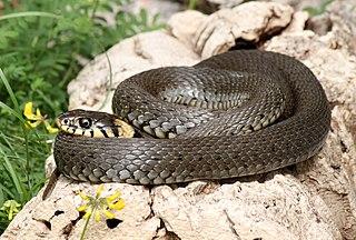 Had - mnohobunkový živočích, stavovec