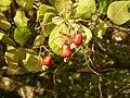 Ripe cashew fruit (483016375).jpg