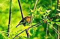 Robin- (Erithacus rubecula)- Червеногръдка.jpg